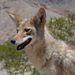 Kojotot etettünk