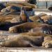 Kaliforniai oroszlánfókák pihennek a Pier 39 mólóján